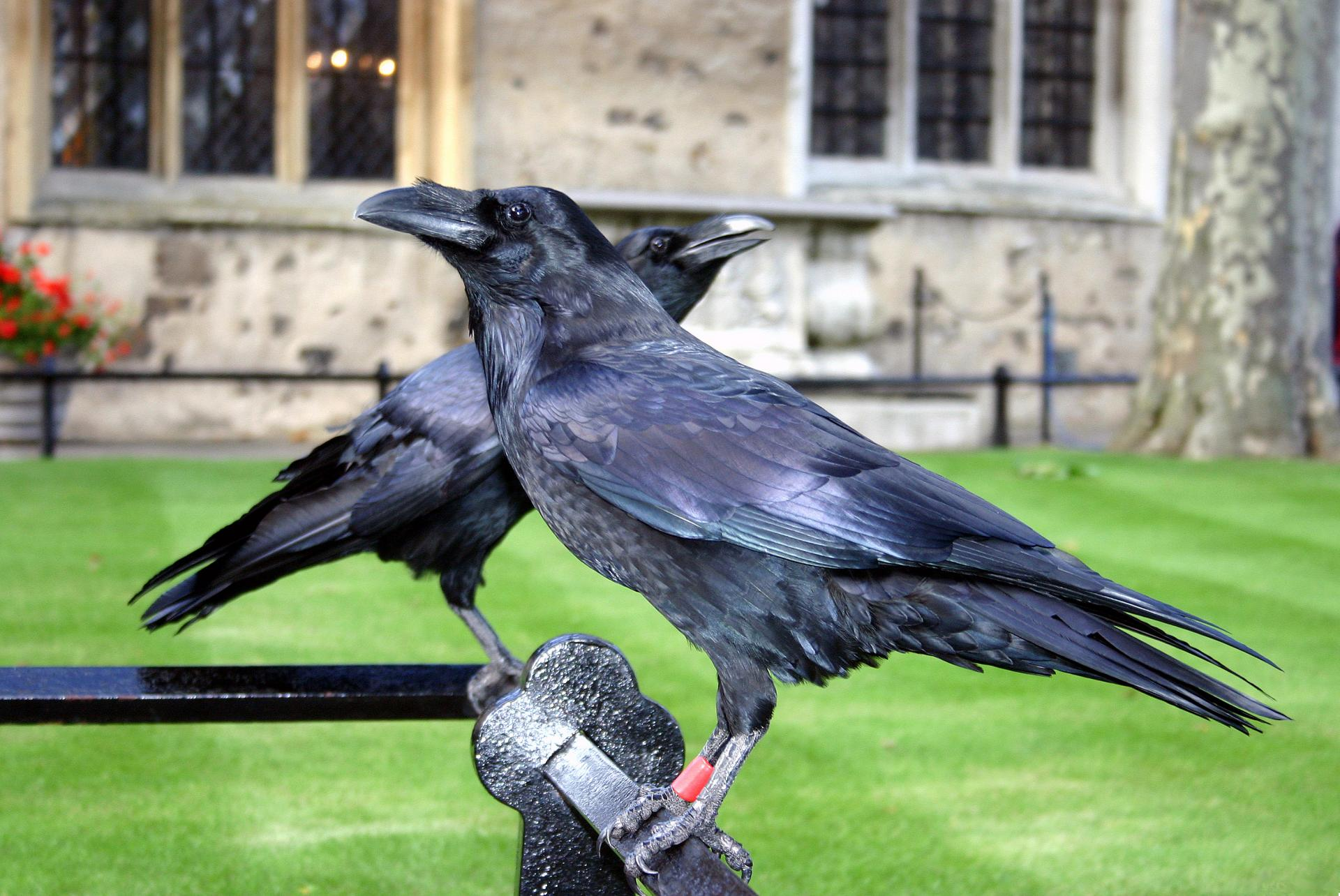Cuervos en la Torre de Londres: historia y curiosidades de Londres